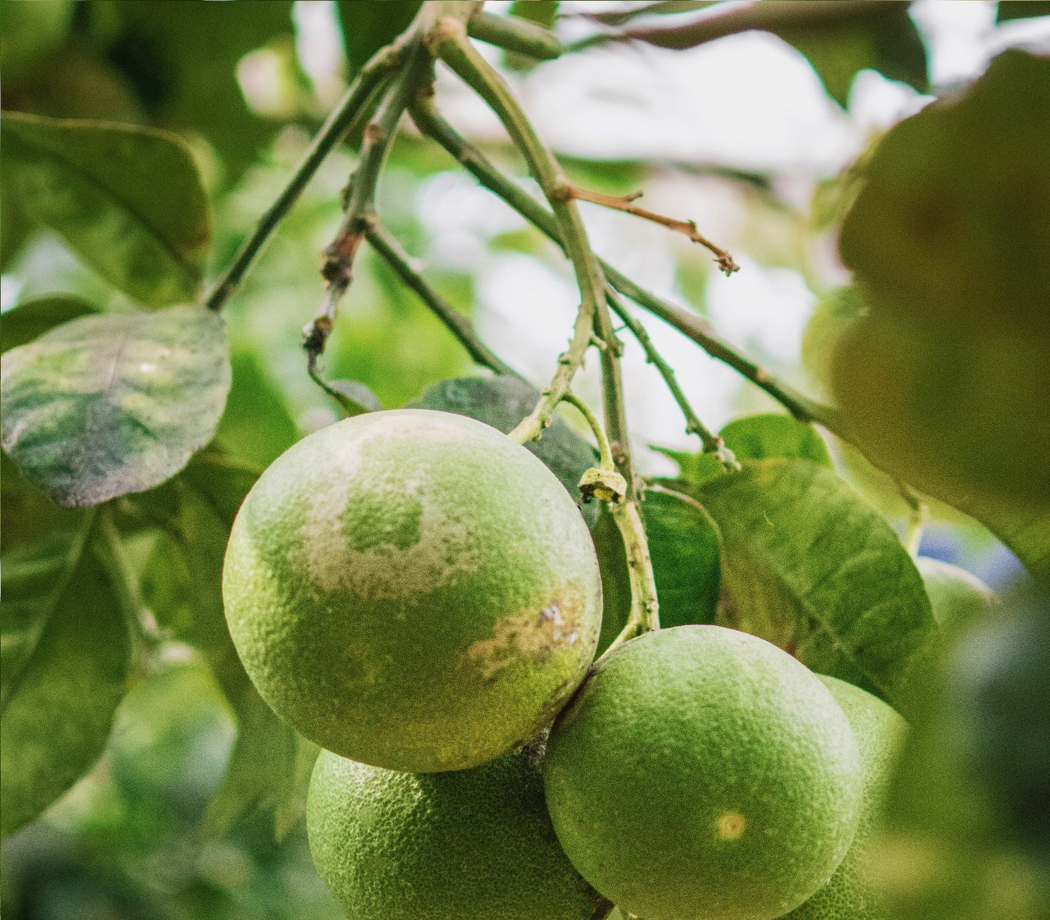 walnut MyFloraDNA